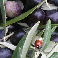 https://www.olivekiara.com/con%20coccinella.jpg